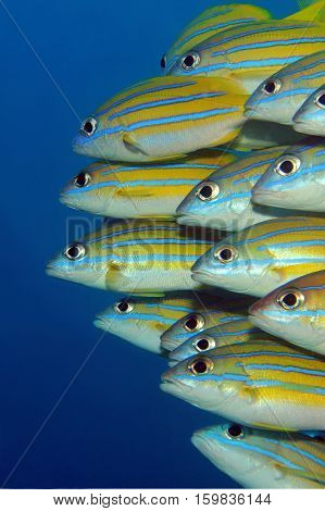 School of Blue-lined Snappers (Lutjanus Kasmira) against Blue Water. Mansuar Raja Ampat Indonesia
