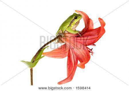 Treefrog On A Flower