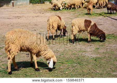 Woolly sheep eating fresh grass on green field.