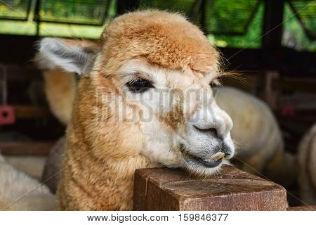 Young Cute Alpaca in the livestock farm.