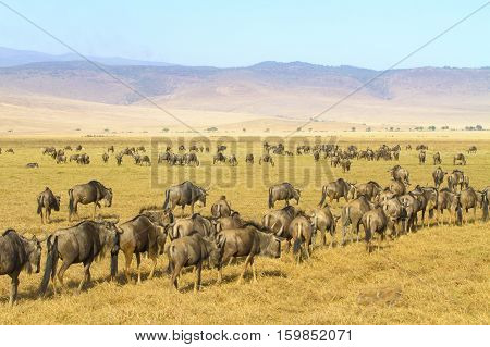 Wildebeest walks in the Ngorongoro crater in Tanzania, Africa.