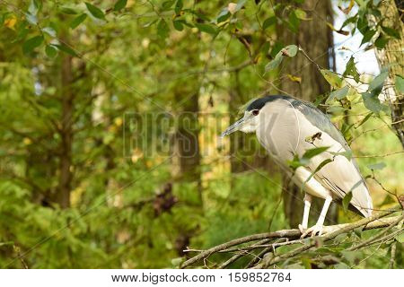 Black-crowned Night-Heron in sitting on a branch