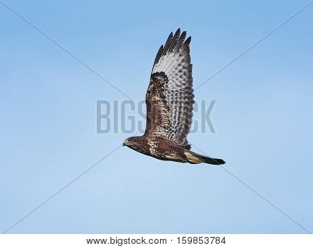 Common buzzard in flight with blue skies in the background