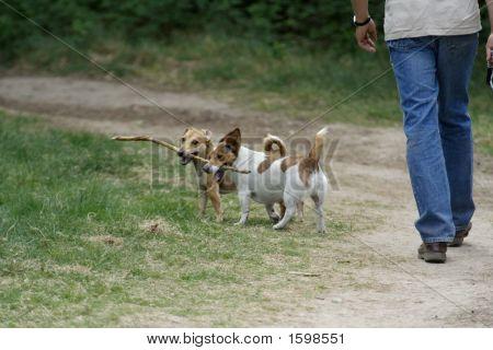 Man Walking Two Dogs