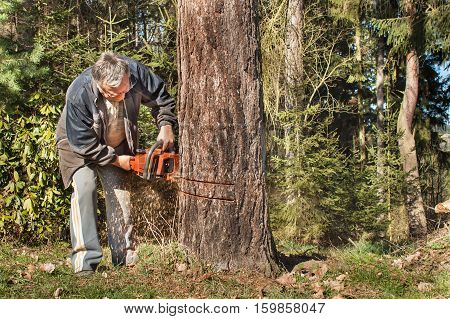 Old man fells larch. Lumberjack working in a forest. Preparing firewood for the winter. Active senior.
