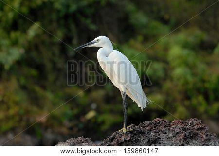 Side view of Little Egret (Egretta garzetta). Goa India