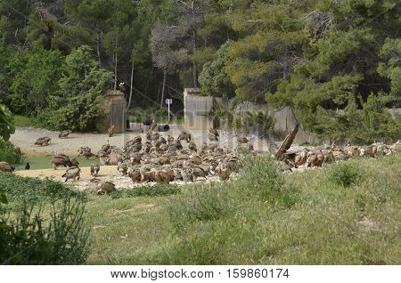 Herd of griffon vultures in freedom awaiting food