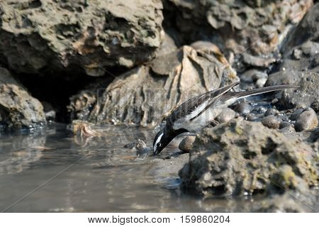 Drinking White-browed Wagtail (Large Pied Wagtail Motacilla maderaspatensis). Goa India