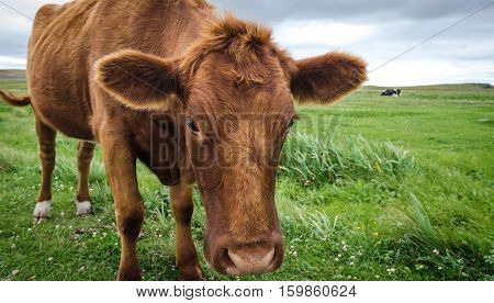 A Jersey cow with her head and big ears lowered down, looks at the camera as her photo is taken.  Calm animal grazing in a field.