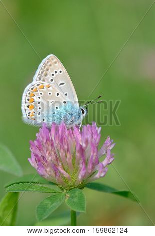 Common Blue (Polyomathus icarus) butterfly on flower