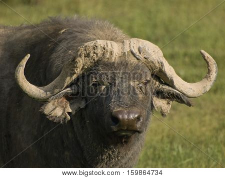 buffalo in Ngorongoro Conservation Area, a protected area and a World Heritage Site located 180 km west of Arusha in the Crater Highlands area of Tanzania