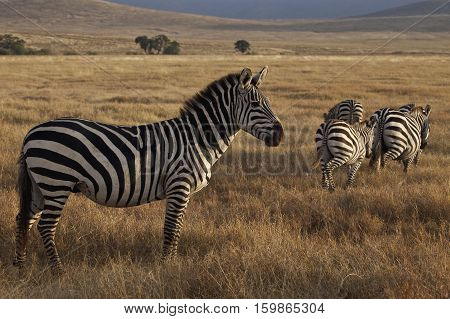 zebra in Ngorongoro Conservation Area, a protected area and a World Heritage Site located 180 km west of Arusha in the Crater Highlands area of Tanzania
