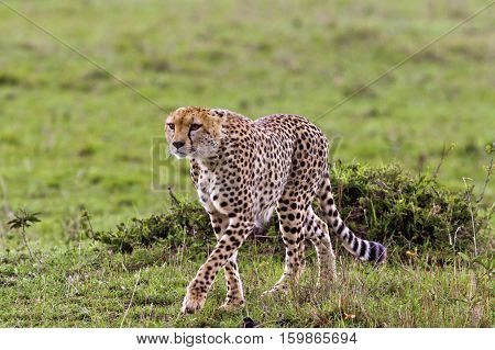 cheetah in Ngorongoro Conservation Area, a protected area and a World Heritage Site located 180 km west of Arusha in the Crater Highlands area of Tanzania