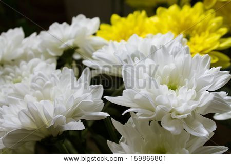background of white chrysanthemums flowers close up