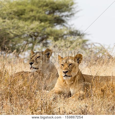 lion in Ngorongoro Conservation Area, a protected area and a World Heritage Site located 180 km west of Arusha in the Crater Highlands area of Tanzania