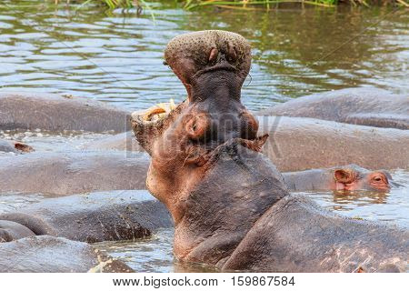 hippopotamus in Ngorongoro Conservation Area, a protected area and a World Heritage Site located 180 km west of Arusha in the Crater Highlands area of Tanzania