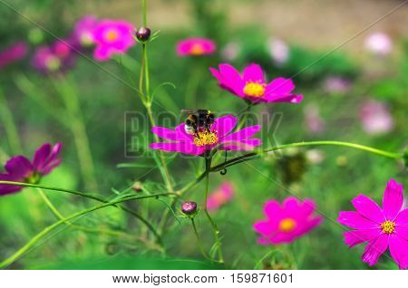insect bumble bee pollinates a beautiful flower