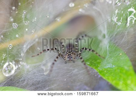Close up on a striped spider waiting on wet web