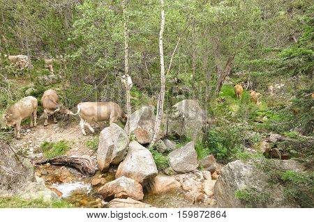 A herd of cows grazing in the Catalan Pyrenees Spain on National Park Aiguestortes.