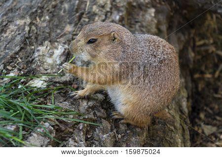 Prairie Dog Eat Green Grass Stalk On Tree Trunk