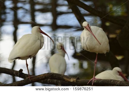American white ibis birds resting by a pond.