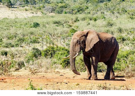 African Bush Elephant Sneaky Look