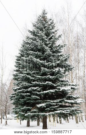 beautiful large, tall, green fir tree all in the snow on the street in winter