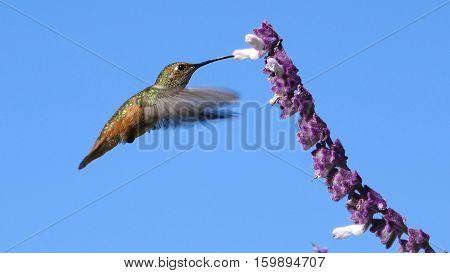 Magnificent Hummingbird And Purple Sage Flower