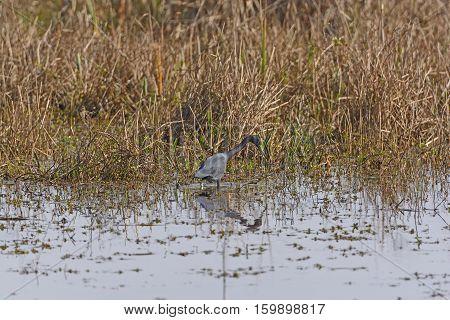 Little Blue Heron on the Hunt in a Bayou Wetland in the Cameron Prairie National Wildlife Refuge in Louisiana