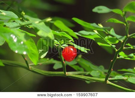 Gorgeous giant red berry on a wild huckleberry plant deep within the rain forests of the Olympic Peninsula of Washington state.