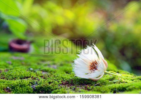 Elaeocarpus Hainanensis Or Elaeocarpus Grandifloras Flower On Moss Background