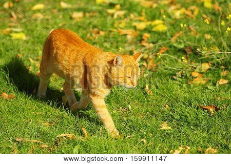 Cute tabby cat on green lawn in autumn park