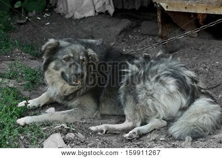 Old dog on leash outdoors near kennel