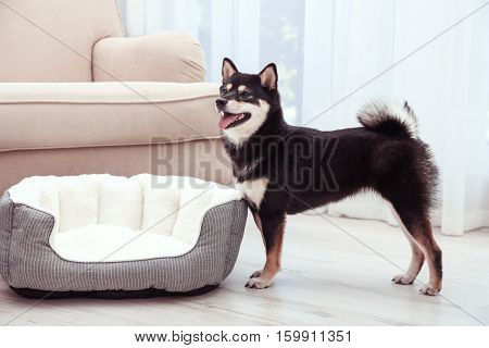 Cute little Shiba Inu dog standing near pet bed at home