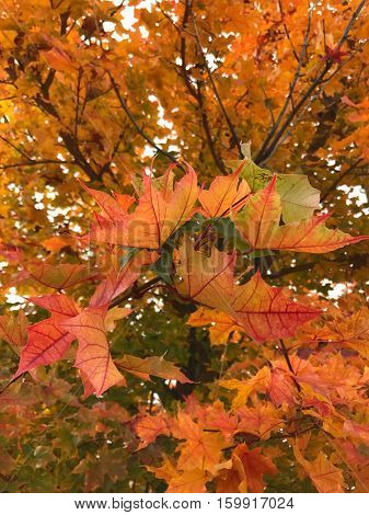 Detailed Maple leaves that have many different shapes and colors on a fall afternoon in Central Oregon.