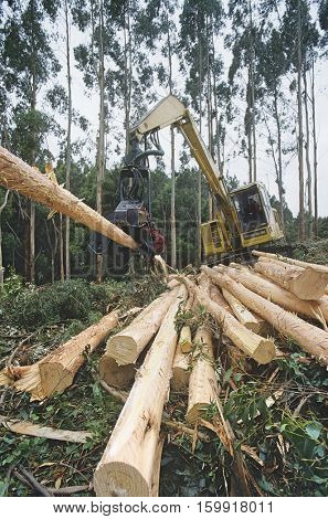 Plantation Eucalyptus (Bluegum) trees being harvested for woodchipping