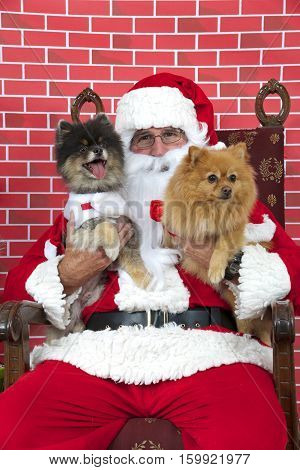 Santa Claus with white long haired small Pomeranian dogs sitting on a tatted chair red brick background. Santa Paws.
