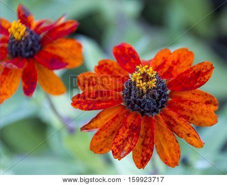 Orange flowers taken at a Minnesota arboretum.