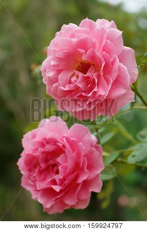 Soft focus closeup of Jubilee celebration rose with rain drop, English rose breeder by David Austin