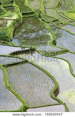 Rice paddies, elevated view
