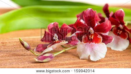 blooming twig red and white orchid flower cambria with green leaves on wooden background panorama