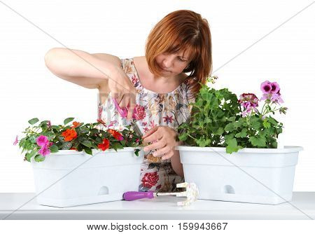 Attractive Middle-aged Woman With Concentration Mows Shears Pelargonium And Impatiens..