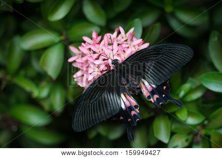 Common Mormon Butterfly Beautiful butterfly perching on flower.