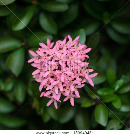 Red spike flower.King Ixora blooming (Ixora chinensis).Rubiaceae flower Ixora coccinea It is a flowering shrub native
