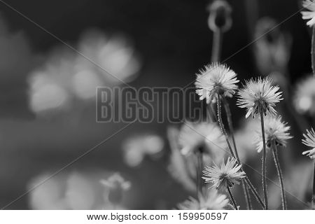 Dried flowers in hot season grasses on ground The meadow of Poaceae Black and White Tone