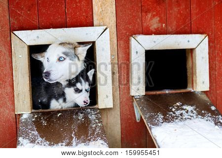 Husky dogs mother and puppy in Lapland Finland