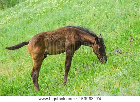 Cute foal grazing on a spring pasture.