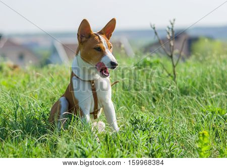 Meet Basenji - most tidy dog that loves to lick itself.