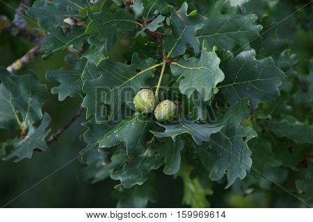 Acorns / Green Acorns on the tree