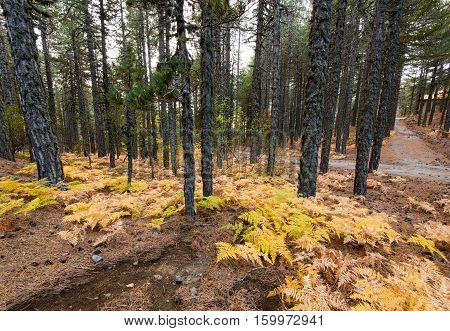 Forest landscape with yellow plants in autumn in Troodos mountains Cyprus